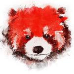Морда красной панды